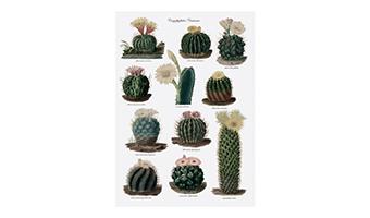 cactus-strofinaccio